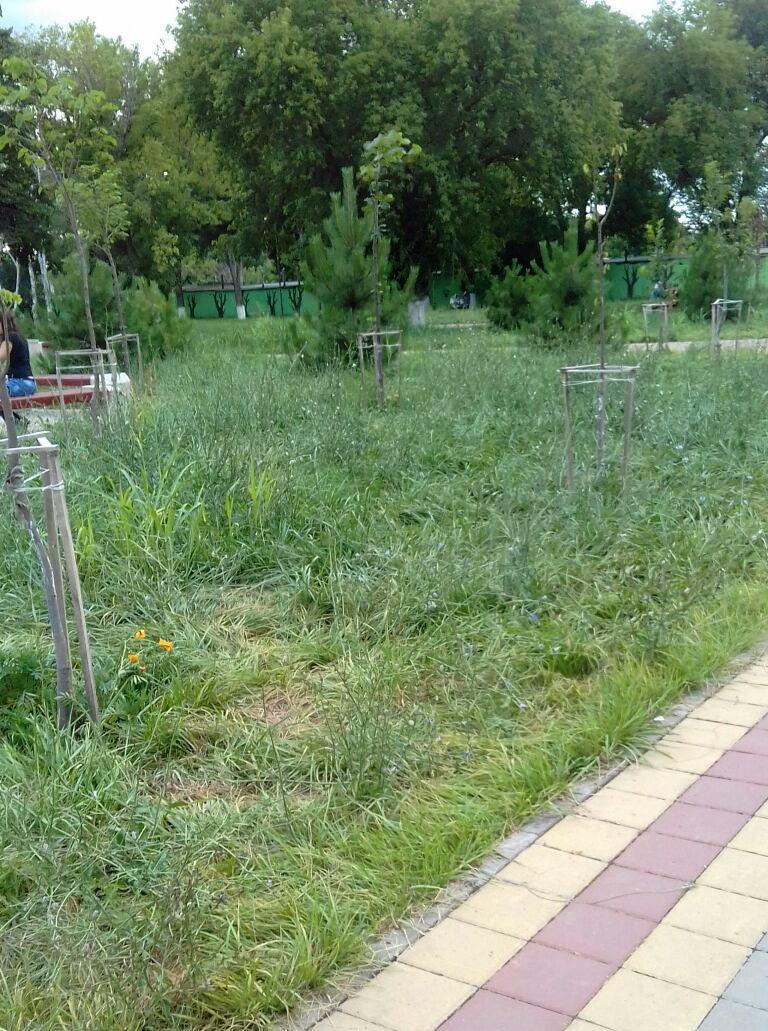 трава черемушки