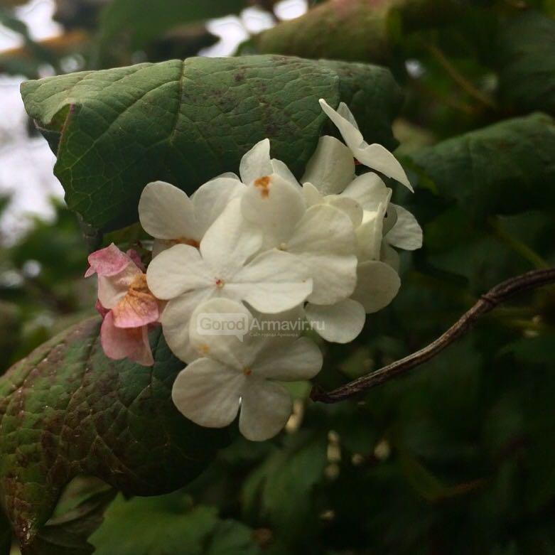 ой, цветет Калина