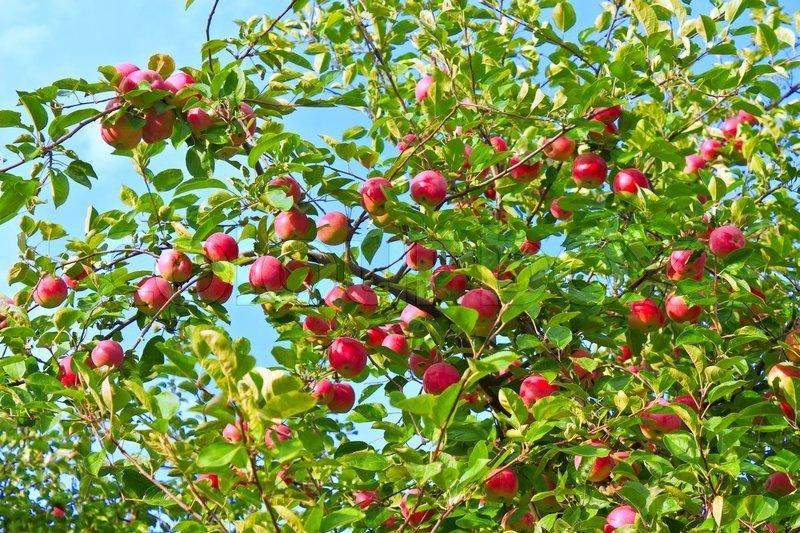 4627251-ripe-apples-on-a-tree