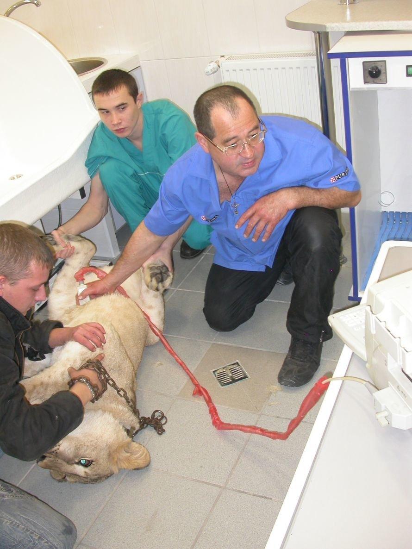 3 Львицу Джину обследуют на УЗИ